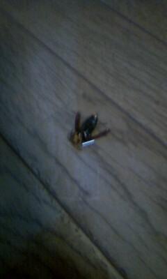 lol-スズメバチの死骸